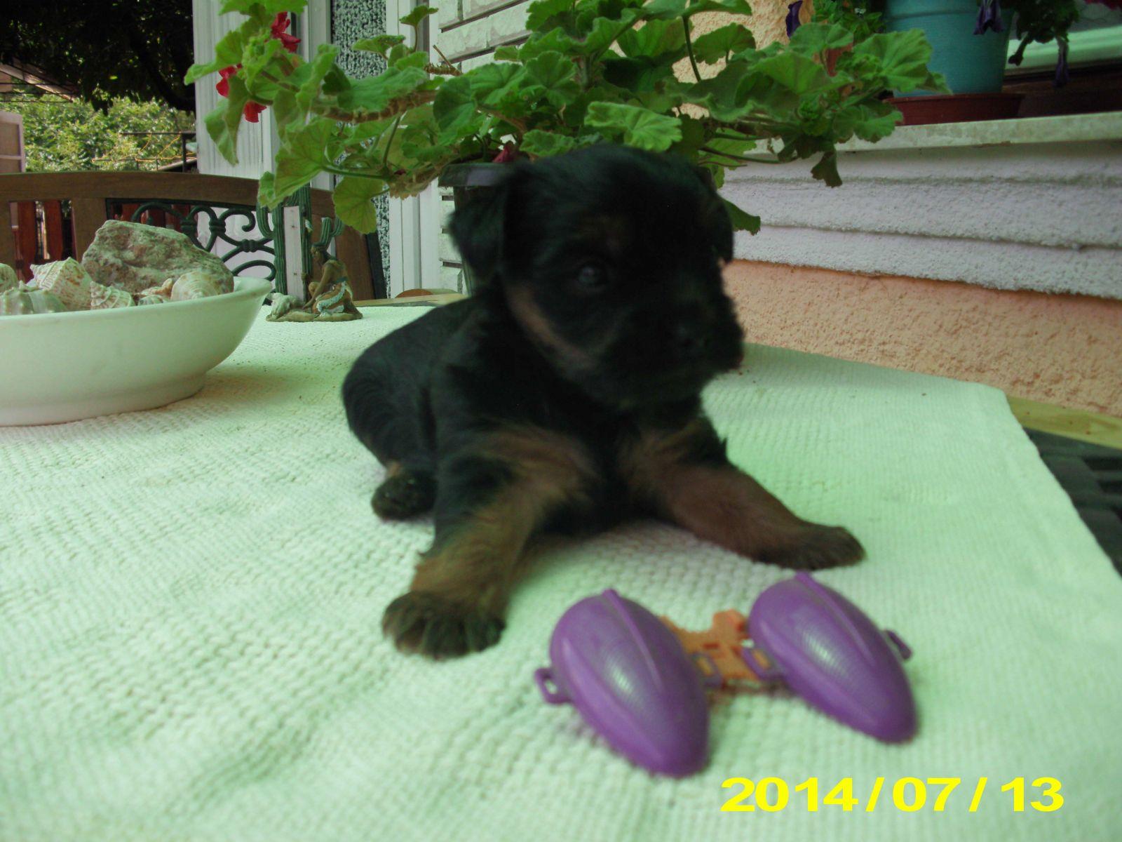 mini yorkshire terrier eladó